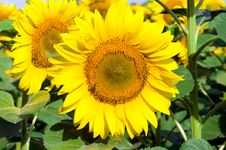 Free Sunflower And Bee Stock Image - 5788041