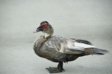 Free Duck Standing On The Sidewalk. Stock Images - 5788124