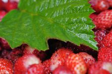 Free Wild Strawberries. Royalty Free Stock Photography - 5788277