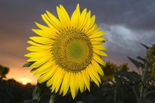 Free Sunflower At Sunset Stock Photography - 5788332