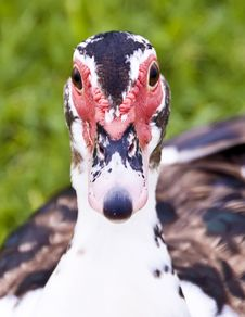 Close Up Muscovy Duck. Stock Photo