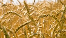 Free Wheat Stock Image - 5788611