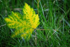 Free Yellow Leaf. Royalty Free Stock Photography - 5789017