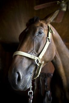Free Bay Horse Close Up Head Shot Royalty Free Stock Photo - 5789685