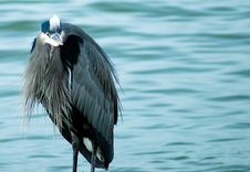 Free Heron Royalty Free Stock Photography - 5789777