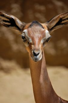 Free Gazelle Portrait Royalty Free Stock Photos - 5789988