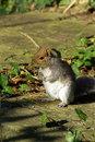 Free Squirrel Stock Photos - 5790603
