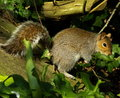 Free Squirrel Stock Photography - 5790612