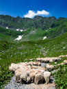 Free Sheeps On Road In Mountain Stock Images - 5796084