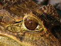 Free Crocodile Eye Royalty Free Stock Photography - 5797197