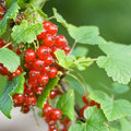 Free Red Currant Bush Stock Photo - 5797850