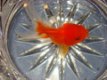Free Gold Fish In A Crystal Vase Stock Images - 5799894