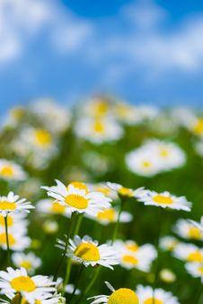 Free Meadow With White Daisies Stock Photos - 5790513