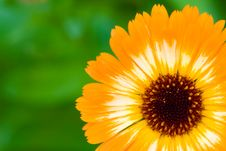 Free Orange Unusual Marigold Flower Stock Photos - 5790573
