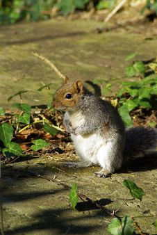Free Squirrel Stock Photos - 5790603
