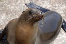 Free California Sea Lion Royalty Free Stock Photo - 5790845