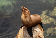 Free California Sea Lion Royalty Free Stock Photo - 5790855