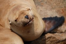 Free California Sea Lion Royalty Free Stock Photography - 5790897