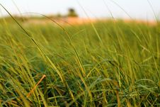 Free Sea Grass Stock Image - 5790981