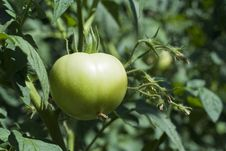Free Green Tomato Royalty Free Stock Image - 5791316