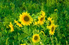 Free Sunflower Stock Photo - 5791700