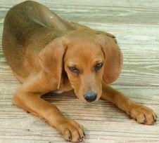 Free Brown Dog Royalty Free Stock Photos - 5791918