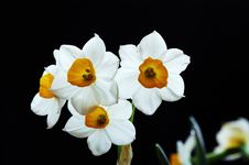 Free Narcissus Stock Image - 5792201