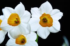 Free Narcissus Stock Image - 5792211