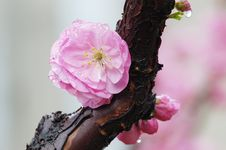 Free Plum Blossom Royalty Free Stock Images - 5792229