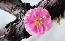 Free Plum Blossom Royalty Free Stock Photography - 5792237