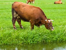 Free Cows On A Field Stock Photos - 5792393