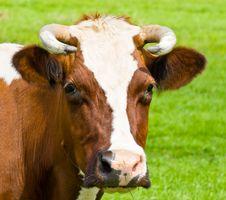 Free Cow Portrait Stock Image - 5792411