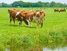 Free Cows On A Field Royalty Free Stock Image - 5792456