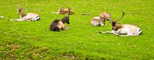 Group Of Deers Royalty Free Stock Photos