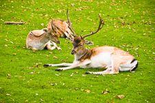 Group Of Deers Stock Photo