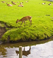 Young Deers Royalty Free Stock Photos