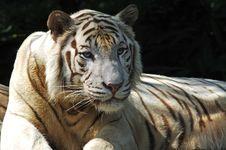 Free White Tiger Stock Image - 5793041