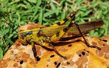 Free Colorful Grasshopper Stock Image - 5793481