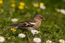 Free Female Chaffinch Stock Images - 5794374