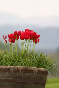 Free Red Tulips Royalty Free Stock Photography - 5794507