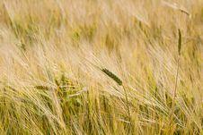 Free Ears Of Wheat In Field Stock Photo - 5794560