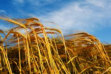 Free Wheat Stems Against Sky Royalty Free Stock Photography - 5794567