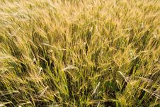 Free Wheat Plants Close-up View Stock Photo - 5794570