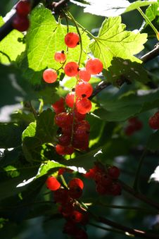 Free Sunny Red Currants In The Middle Of A Bush Royalty Free Stock Photo - 5794575