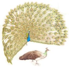 Peacock Indian Blue Courts Royalty Free Stock Image