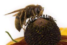 Free Bee Sitting On  Flower Stock Photos - 5795783