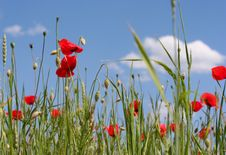 Free Poppies On The Sky Stock Images - 5796144
