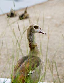 Free Hiding Goose Stock Image - 5796341