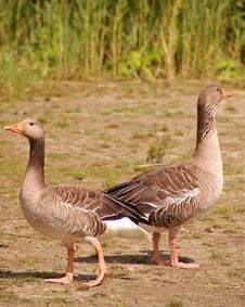 Free Geese Royalty Free Stock Photos - 5796448