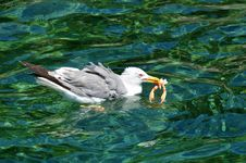 Free Seagull With Shrimps Royalty Free Stock Images - 5796869